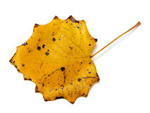 Autumn yellow quaking aspen leaf with holes. Autumn yellow quaking aspen Populus tremula leaf with holes. Isolated on white background Stock Images