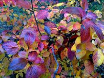 Autumn yellow-red and blue shade leafs bush. Colorful autumn yellow-red and blue shade leafs bush with black wolf berries in a forest royalty free stock photos