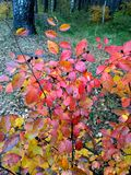 Autumn yellow-red bush of wolf berries. Colorful autumn bright yellow-red bush with black wolf berries in a forest stock photos