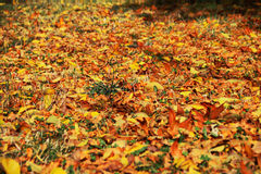 Autumn, yellow, red leaves on the earth. Season, mellow autumn, autumn leaves, autumn, wildlife, foliage, yellow leaves, red leaves, green grass, yellow autumn Stock Images