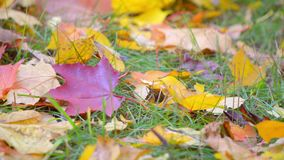 Autumn: yellow and red leaves lying on the grass stock video