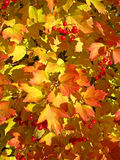 Autumn. Yellow and red leaves of viburnum Royalty Free Stock Photos