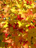 Autumn. Yellow and red leaves of viburnum Stock Photo