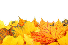 Autumn yellow and red leaves on white background. Stock Images