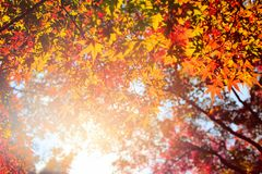 Autumn seasonal yellow and red maple leaves with the sunlight. Autumn yellow and red maple leaves with the sunlight Stock Images