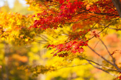 Autumn yellow and red maple trees Stock Photos