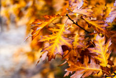 Autumn yellow threes. On the light blurred background Royalty Free Stock Images