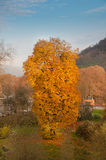 Autumn yellow tree Stock Photos