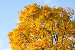 Autumn yellow tree against the blue sky royalty free stock photos