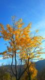 Autumn yellow tree leafes. Autumn, yellow colors on a tree Royalty Free Stock Images