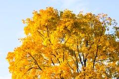 Autumn yellow tree in Tsaritsyno Park royalty free stock photo