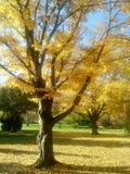 Autumn. Yellow, tree, wood, leaf, gold, fall Royalty Free Stock Photos