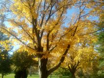 Autumn. Yellow, tree, wood, leaf, gold, fall Stock Photography