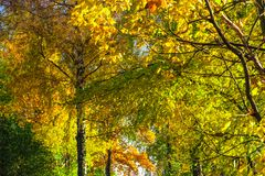 Autumn yellow trees royalty free stock photography
