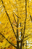 Autumn yellow trees and blue sky.  Stock Photography