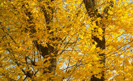 Autumn yellow trees and blue sky. Autumn yellow maple trees and blue sky Royalty Free Stock Images