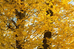 Autumn yellow trees and blue sky. Autumn yellow maple trees and blue sky Stock Image