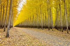 Autumn yellow trees in an Oregon tree farm Stock Photography