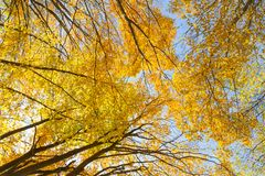 Autumn yellow trees on the sky royalty free stock photography