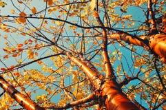 Autumn yellowed bird cherry tree - autumn sunny landscape. Stock Photos