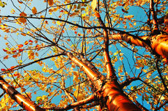Autumn yellowed bird cherry tree - autumn sunny landscape in vintage tones Stock Photos