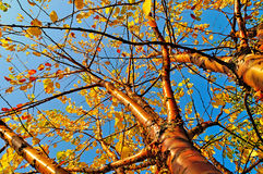 Autumn yellowed bird cherry tree with golden bark and yellowed leaves Royalty Free Stock Photo