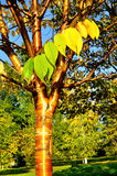 Autumn yellowed bird cherry tree with golden bark and yellowed leaves Royalty Free Stock Photos