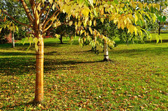 Autumn yellowed bird cherry tree with golden bark and yellowed leaves Stock Photo