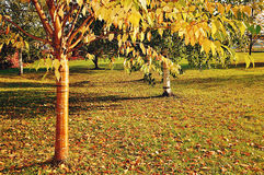 Autumn yellowed bird cherry tree with golden bark and yellowed leaves Stock Images