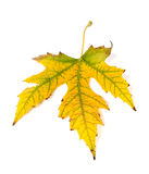 Autumn yellowed leaf Stock Photography