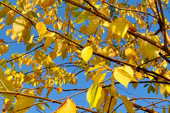 Autumn yellowed leaves of  bird cherry tree, autumn background Royalty Free Stock Image