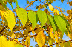 Autumn yellowed leaves of  bird cherry tree, autumn background Royalty Free Stock Images