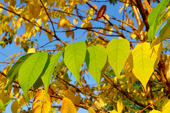 Autumn yellowed leaves of  bird cherry tree, autumn sunny landscape Stock Photography