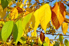 Autumn yellowed leaves of  bird cherry tree, autumn sunny landscape Stock Photo