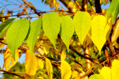 Autumn yellowed leaves of  bird cherry tree, closeup Royalty Free Stock Image