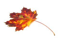 Autumn yellowed maple leaf Royalty Free Stock Image