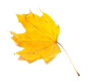 Autumn yellowed maple leaf Royalty Free Stock Photo