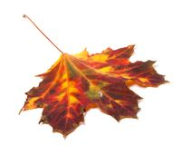 Autumn yellowed maple-leaf Stock Photos