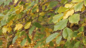 Autumn yellowing leaves. Dangle light breeze stock video
