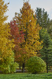 Autumn. Yellowing trees in autumn city park in October Stock Images