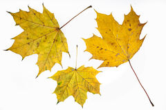 Autumn yelow maple leafs. Stock Images