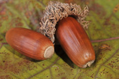 Autumnal acorns Royalty Free Stock Images