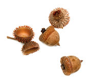 Autumnal acorns from oak Stock Images