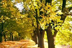Autumnal alley. Beautiful autumn alley . Focus on a branch on foreground. Kiev Botanical Garden Stock Photography