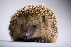 Autumnal animal - Hedgehog Stock Images