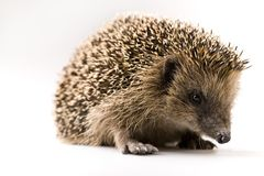 Autumnal animal - Hedgehog royalty free stock photo