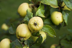 Autumnal apples, harvest Royalty Free Stock Photo