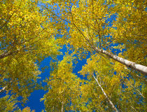 Autumnal aspens Stock Images