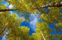 Autumnal aspens Royalty Free Stock Photography