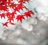 Autumnal background, defocused red marple leaves Royalty Free Stock Images